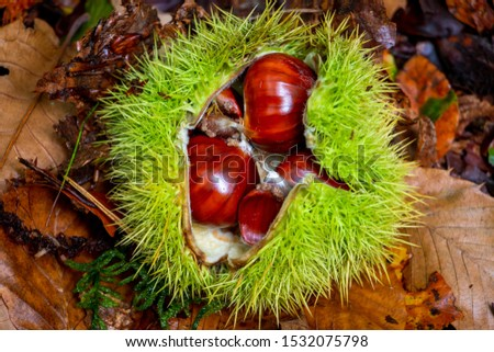 Beautiful brown chestnut in its green prickley shell, picture taken in the Netherlands in National Park Dwingelderveld