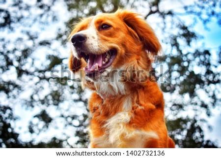 Beautiful brown dog cocker spaniel crossbred #1402732136