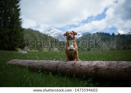 Beautiful brown dog is staying on a tree trunk in front of snowy mountains. Hiking with dog. Adventure with dog. Dogs in mountains. #1473594602