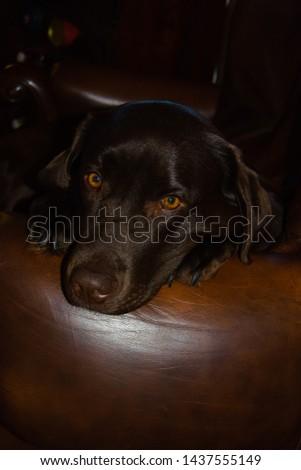 Beautiful brown dog Labrador retriever #1437555149