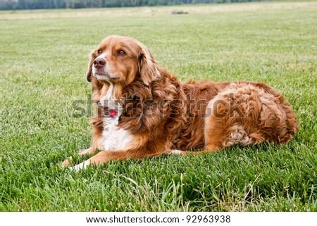 beautiful brown dog outdoors