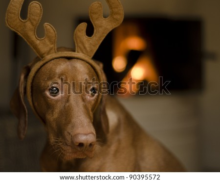 Beautiful brown female Hungarian Vizsla dog dressed as a Christmas reindeer.