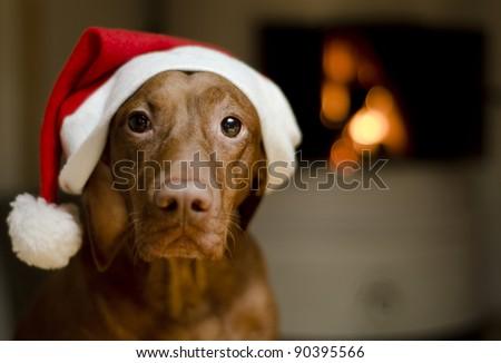 Beautiful brown female Hungarian Vizsla dog dressed in a santa hat.