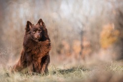 Beautiful Brown German Spitz dog standard