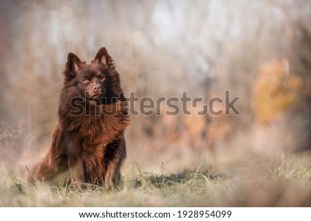 Beautiful Brown German Spitz dog standard Stock foto ©