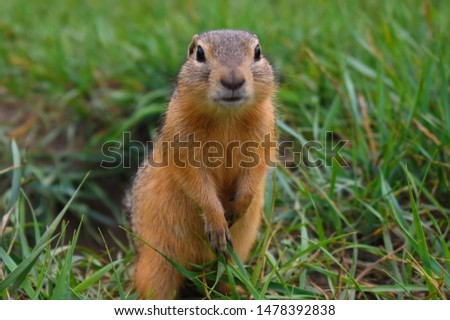 Beautiful brown gopher got out of a mink. Wild hamster in the nature. Close up of muzzle of fluffy wild gopher.