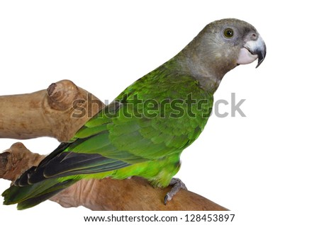 Beautiful Brown Headed Parrot #128453897