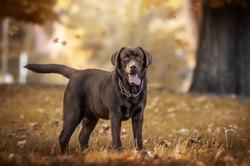 Beautiful brown labrador in nature