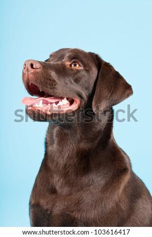 Beautiful Brown labrador retriever isolated on light blue background. Studio shot.