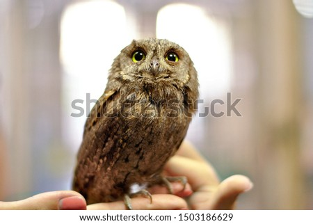 Beautiful brown little owl with big green eyes. Owl baby,  child kid. Hands holding little owl. Cute animal bird picture. Contact zoo. Touching animals birds. Hold animal baby.