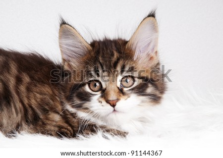 Beautiful brown Maine Coon kitten