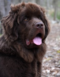 Beautiful brown Newfoundland dog looking very sweet.