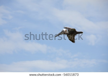 Beautiful Brown Pelican  endangered by gulf oil spill flying in blue sky with white puffy clouds