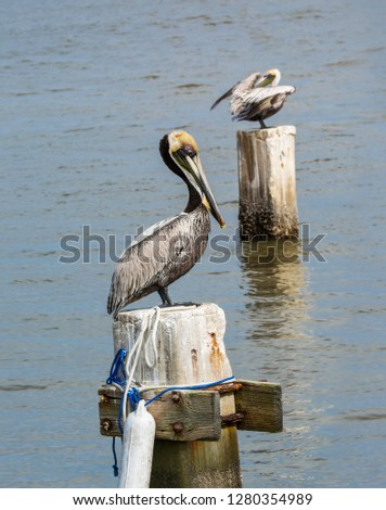 Beautiful brown pelican in Florida sitting on part of a pier with a friend in the background. These birds are truly gorgeous when you study  them up close.