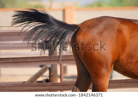 Beautiful brown red horse up for adoption at Healing Hearts Animals Rescue & Refuge in Arizona  Foto stock ©