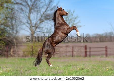 Beautiful brown stallion on a background of green blurry field in the spring. Horse flaunts worth the candle, jumps.