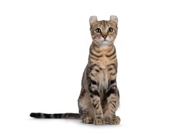 Beautiful brown tabby blotched American Curl Shorthair cat, sitting facing front. Looking towards camera. Isolatd on a white background.