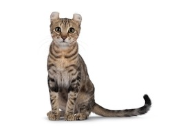 Beautiful brown tabby blotched American Curl Shorthair cat, sitting facing front ready to jump. Looking straight to camera. Isolatd on a white background.