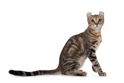 Beautiful brown tabby blotched American Curl Shorthair cat, sitting side ways. Looking towards camera. Isolatd on a white background.