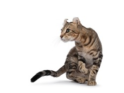 Beautiful brown tabby blotched American Curl Shorthair cat, turning side ways showing profile and ears. Looking ahead away from camera. Isolatd on a white background.