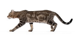 Beautiful brown tabby blotched American Curl Shorthair cat, walking side ways showing profile and ears. Looking ahead away from camera. Isolatd on a white background.