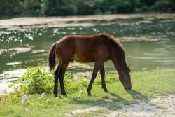 Beautiful brown wild horse standing near a pond.