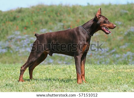 Beautiful brown young doberman male standing