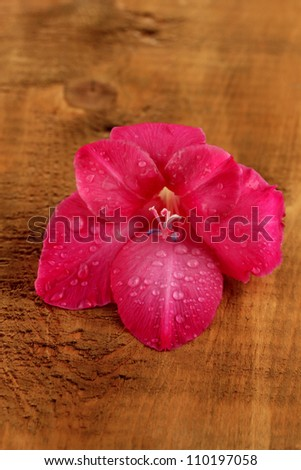 beautiful bud of pink gladiolus on wooden background close-up