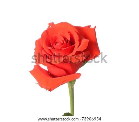 Beautiful budding red rose - stock photo