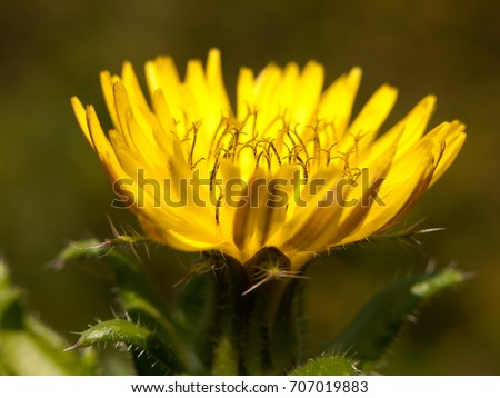 beautiful budding yellow dandelion Taraxacum officinale seen from side close up; England; UK #707019883