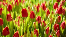beautiful buds of red tulips flooded with sunlight in the garden