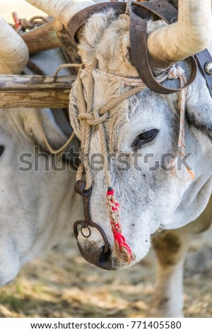 Free Photos Bull With Ring In Nose Avopixcom