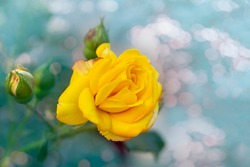 Beautiful bunch of a blooming yellow roses flowers over natural green backdrop. Flower background with copy space. Soft focus.