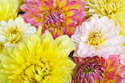 Beautiful bunch of colorful Dahlia flowers in full bloom, close up. Spring or summer floral background.