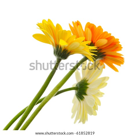 Beautiful bunch of daisy-gerbera flower isolated on the white background