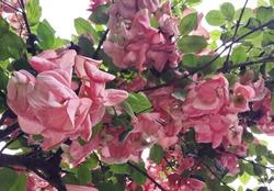 beautiful bunch of pink colored musanda flowers at outdoor home garden