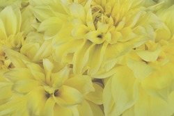 Beautiful bunch of yellow Kelvin Floodlight Dahlia flowers in full bloom, close up. Spring or summer floral background.