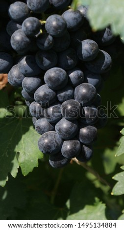 beautiful bunches of black grapes on a branch. in the sun