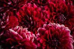 Beautiful burgundy coloured Dahlia flowers close up texture