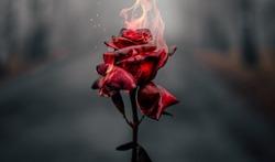 Beautiful Burning Red Rose Background