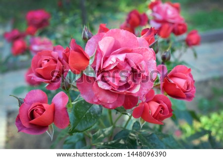 Beautiful bush of pale red roses. A branch of red rose in the garden in the summer season. Rosebuds closeup. #1448096390