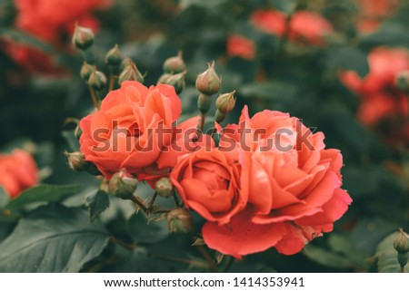 Beautiful bush of tea roses. Spring and summer flower.  Rose garden. Nature and botany theme. #1414353941