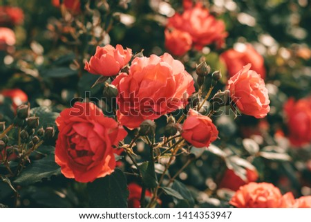 Beautiful bush of tea roses. Spring and summer flower.  Rose garden. Nature and botany theme. #1414353947