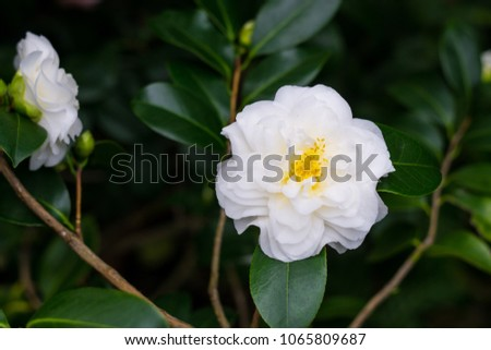 Beautiful bush of white Japanese Camellia flowers (Camelia japonica) with yellow stamens, dark background #1065809687