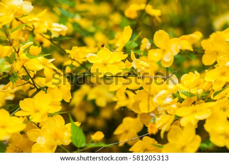 Beautiful bush with a lot of small yellow flowers in the spring beautiful bush with a lot of small yellow flowers in the spring garden mightylinksfo