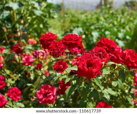 beautiful bushes of red roses