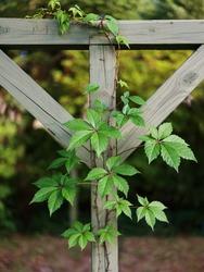 Beautiful but pesky Virginia Creeper vine growing on vintage wooden clothesline outdoors.