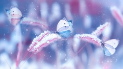 Beautiful butterflies in the snow on the wild grass on a blue and pink background. Snowfall Artistic winter christmas natural image. Winter and spring background.