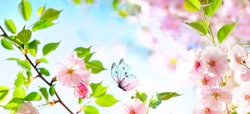 Beautiful butterfly and cherry blossom branch in spring on blue sky background with copy space, soft focus. Amazing elegant artistic image of spring nature, frame of pink Sakura flowers and butterfly.
