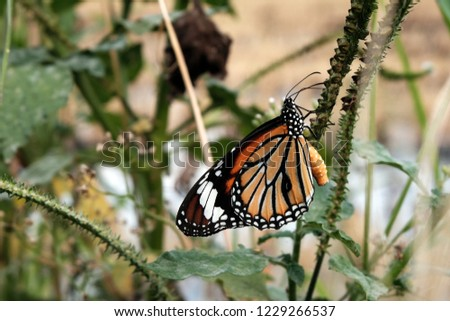 Beautiful butterfly, Black veined brown butterfly, Animals,Danaus plexippus, Indian Monarch butterfly.